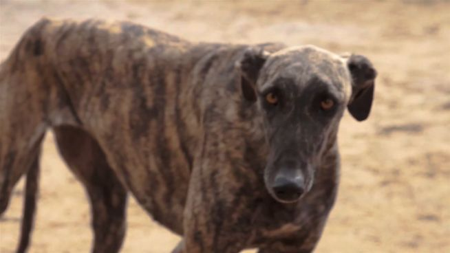 50.000 tote Hunde: Tierschützer wollen Rennen beenden