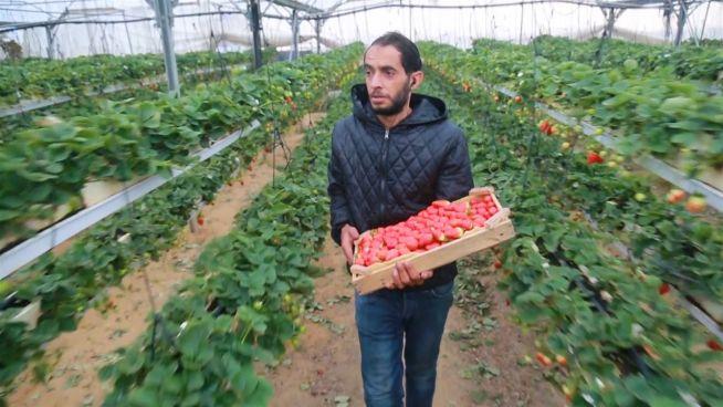 Das rote Gold: Erdbeer-Revolution in Gaza