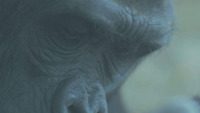 Gorillas durch Klimawandel gefährdet