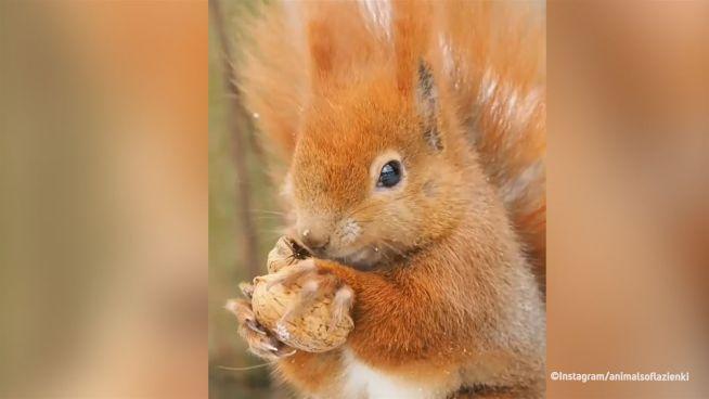 Zutraulicher Nussknacker: Eichhörnchen in Polen
