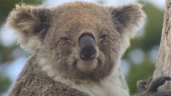 Sind Koalas bald von unserem Planeten verschwunden?