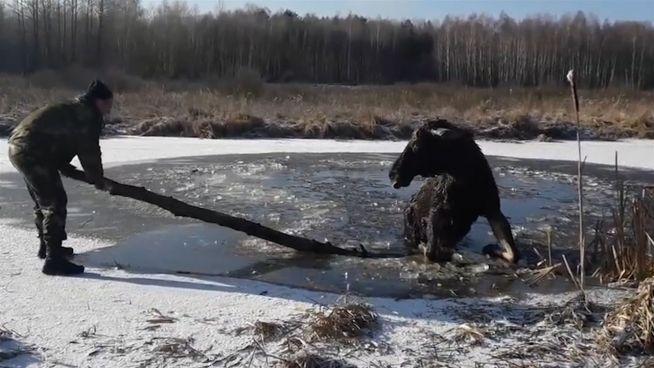 Eisiger Einsatz: Polizei befreit eingebrochenen Elch