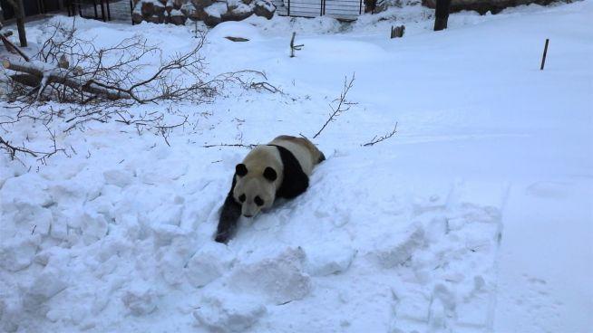 Willkommensgruß aus Finnland: Pandas toben im Schnee