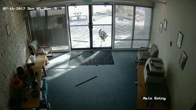 Tierischer Vandalismus: Ziege bricht in Büro ein