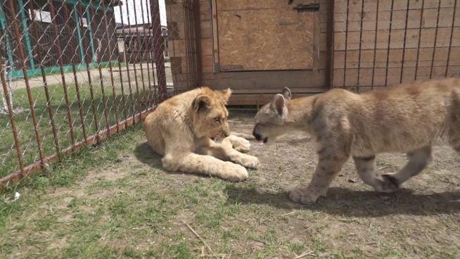 Gefährliche Freundschaft: Löwe spielt mit Puma