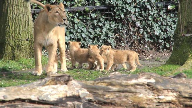Gefährdete Löwen: Jagd-Simulator hilft bei Auswilderung