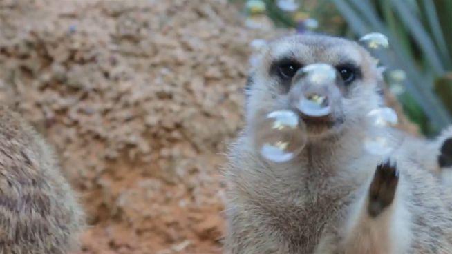 Nicht erwischt: Erdmännchen auf Seifenblasen-Jagd