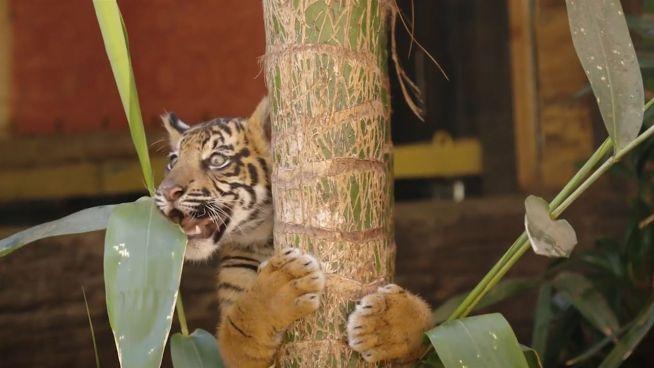 Tapsig: Tiger-Babys auf dem Weg ins neue Gehege