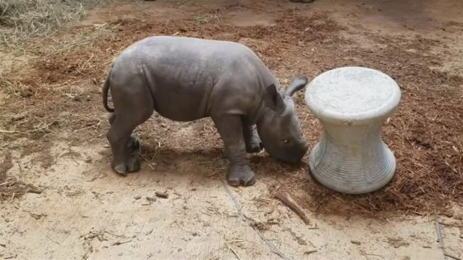 Raufendes Rhinozeros: Moyo kämpft gegen Hocker