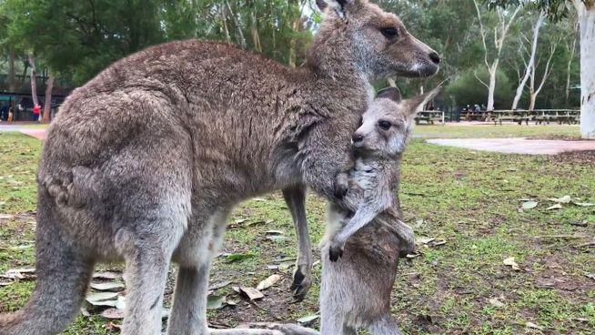 Auf dem Sprung: Baby-Känguru wagt erste Hüpfer